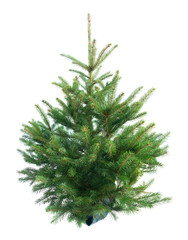 christmas evergreen natural fresh tree with holiday decorations and lights over white backgroundbackground