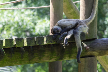 Spiker monkey resting at the zoo