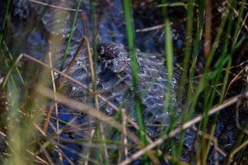 Baby alligator resting on its mother's back, Everglades Nation