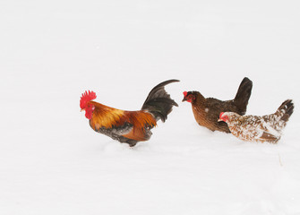 Rooster walking through deep snow with two hens, in snowfall