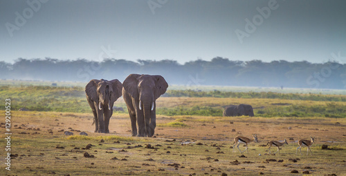 Elephants wandering around in Kenya