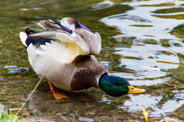 A Male Duck alone on the Water
