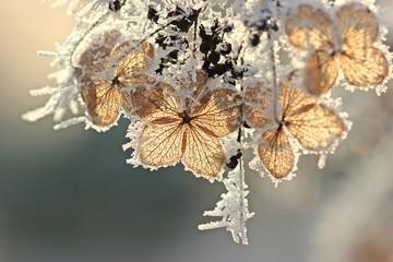 Samenstand einer Samthortensie (Hydrangea sargentiana) mit Raureif
