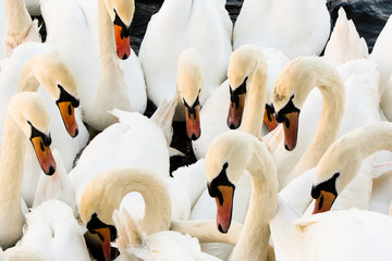 Swans on the Thames at Eton/Windsor