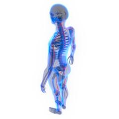 Human Skeleton with Nervous System