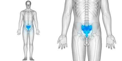 Human Body Skeleton Bones Anatomy (Sacrum)