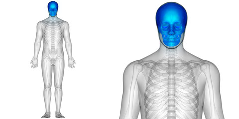 Human Skeleton Skull Anatomy