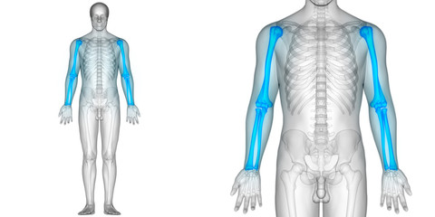 Human Skeleton Bone Joint Pains Anatomy (Hand Joints)