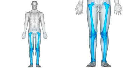 Human Body Bone Joint Pains (Leg joints and Bones)