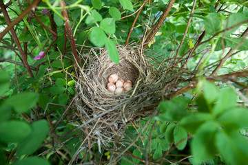 Lanius collurio. The nest of the Common Shrike in nature.