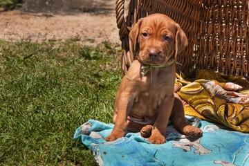 Hungarian hound puppy. Summer day dog family. Viszla