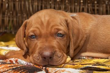 Sad dog eyes. Hungarian hound puppy. View dog.