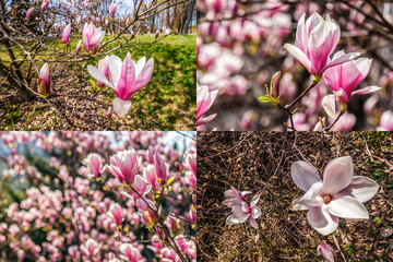 image set of magnolia flower on a blurry background