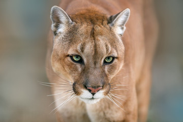 Photo sur Aluminium Puma Puma, cougar portrait on light background