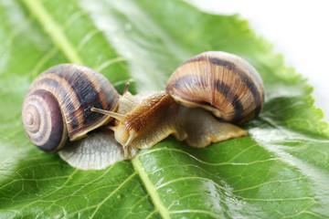 Brown snails on green leaf, close up