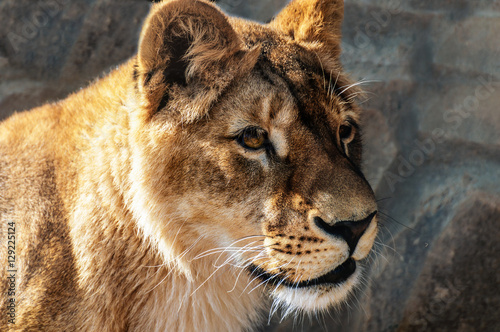 The look of a wild lioness