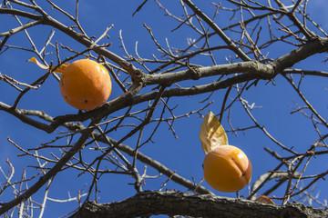 Rama con dos Caqui en el árbol