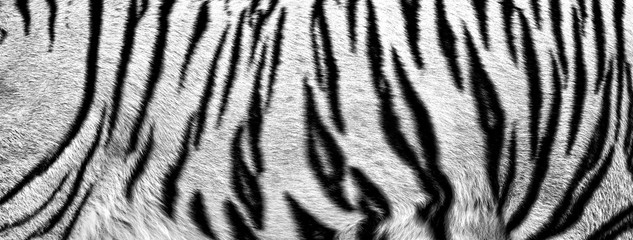 fur of white tiger