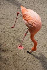 Pink flamingo closeup view
