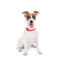 Jack Russell Terrier, isolated on white