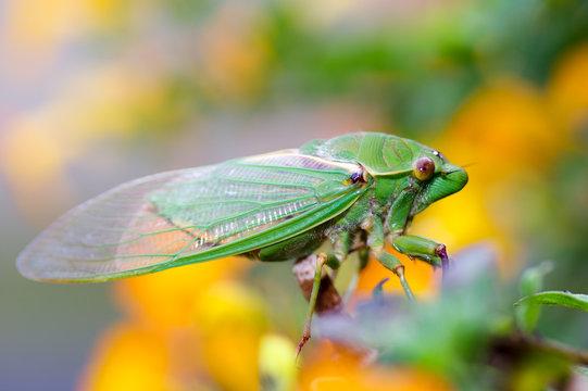 Cicada yellow bg