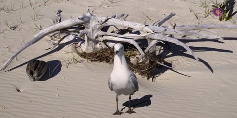 Seagull & Driftwood on a pristine sandy tropical island beach