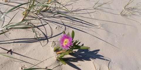 Single Tropical Beach Flower. Frazer Island.