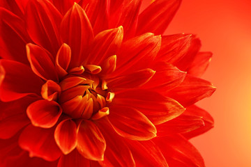 Cadres-photo bureau Dahlia Beautiful red dahlia flower, closeup