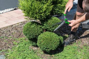 Ein Gärtner schneidet einen Thuja oder Buchsbaum  in Form.