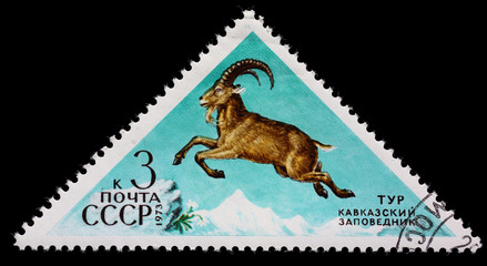 "USSR - CIRCA 1973: Postage stamp of the series ""Fauna - Nature Reserves"" with a picture of West Caucasian tur (Capra caucasica), printed in USSR, circa 1973"