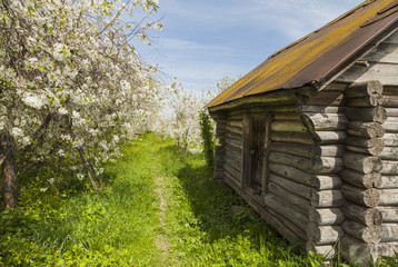 Russian log hut in the flowering cherry orchard, province, villa