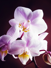 Lilac orchid, vintage wooden background, selective focus