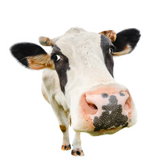 Aluminium Prints Cow Funny cute cow isolated on white. Talking black and white cow close up. Funny curious cow. Farm animals. Pet cow on white. Cow close looking at the camera