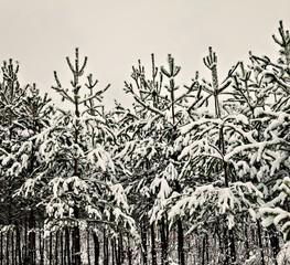 snowy pine forest landscape in the morning