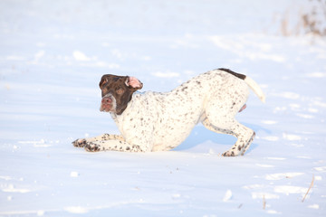 French Pointing Dog playing in winter