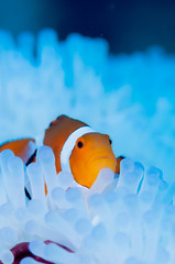 Clownfish live in bleached sea anemone