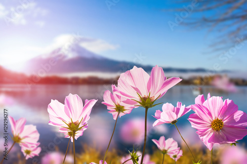 Fototapete Pink cosmos flower blooming with translucent at petal on blurred Fuji mountain background