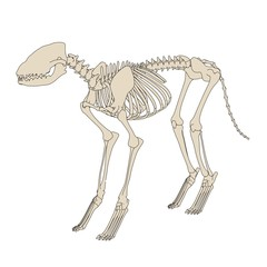 2d cartoon illustration of canine skeleton
