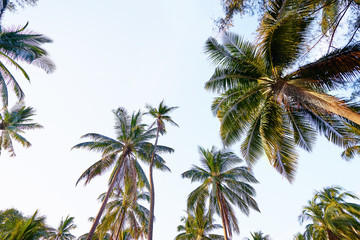 Coconut palms against blue sky.