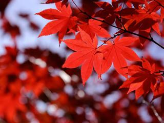 カエデ 紅葉 秋色