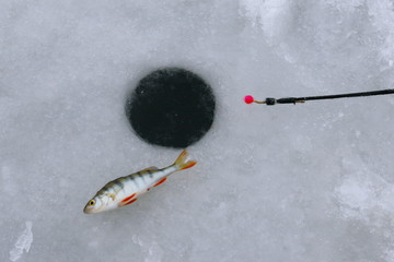 Perch fish with rod on the ice. Winter fishing theme