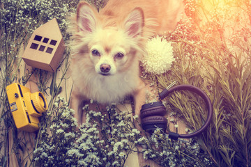 cute chihuahua brown dog sitting relax with flower camera and be