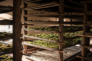 Trebbiano grapes drying on mats in winery which will make vin sa