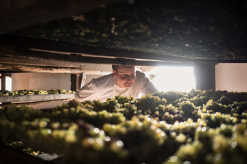Chef checking grapes drying in winery to become vin santo desser