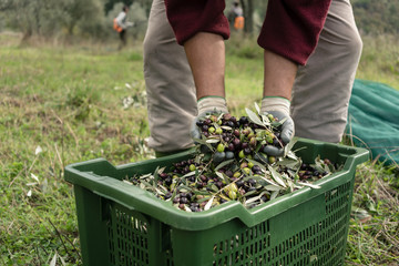 Worker in olive plantation during harvest testing quality of the