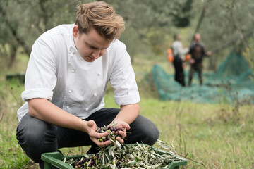 Chef inspecting quality of olives during olive harvest