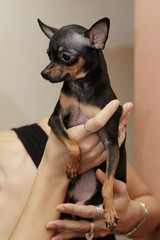 Little shy toy terrier sits on woman's hands
