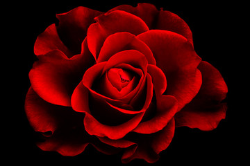Red rose wallpaper with special  color and light effect