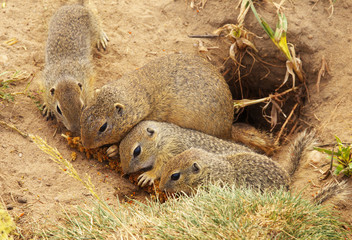 Group of Eating Ground Squirrels