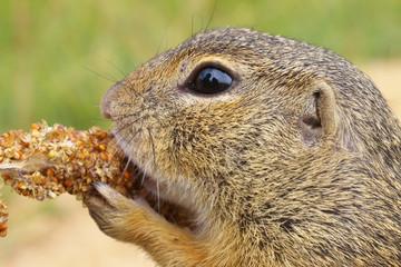 Eating Ground Squirrel
